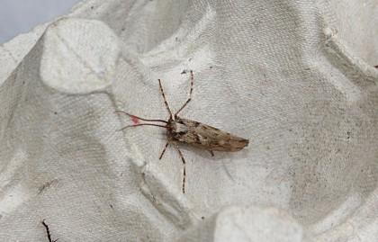 cadisfly