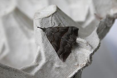 horned moth