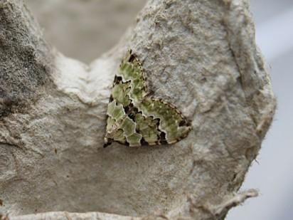 red green carpet moth